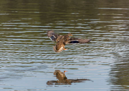 platyrhynchos: anas platyrhynchos,swimming in the lake looking for food Stock Photo