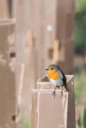 erithacus: erithacus rubecula, robin perched on a branch Stock Photo