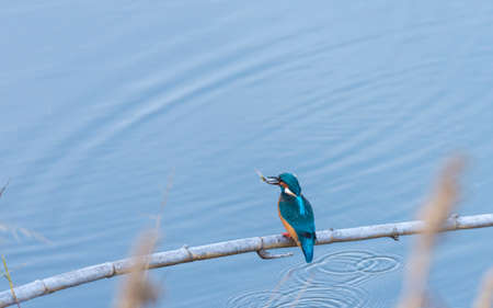 alcedo: alcedo atthis, kingfisher, with his prey in the mouth Stock Photo