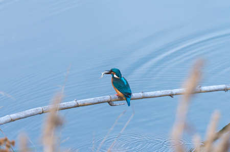 alcedo atthis: alcedo atthis, kingfisher, with his prey in the mouth Stock Photo