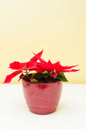 christmas plant with red leaves