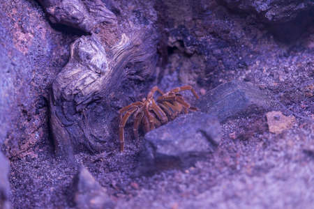 arachnida: tarantula resting among the rocks