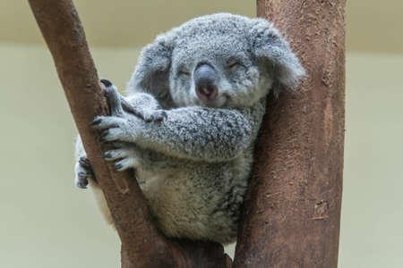 koala rusten en slapen op zijn boom Stockfoto