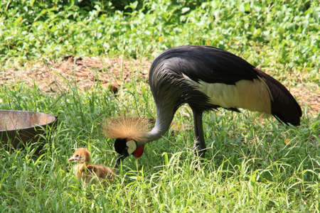 Crested crane and baby