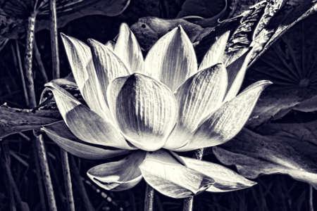 white lotus flower: Artistic black and white Lotus flower graphism