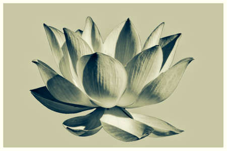 Artistic Lotus flower graphism