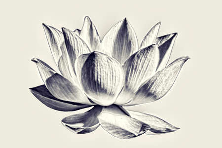Artistic black and white Lotus flower graphism