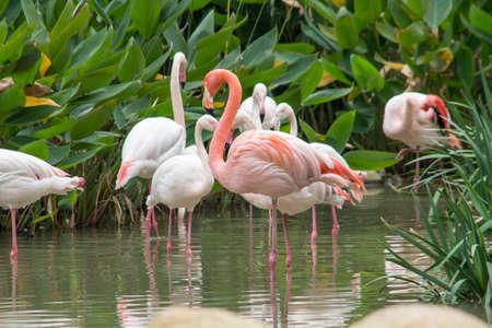 Beautiful flamingos in the water