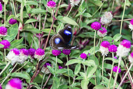 Hypolimnas bolina, the great eggfly, the blue moon butterfly from India, Kerala Stock Photo