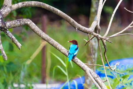 Kingfisher bird from Kerala in India Stock Photo