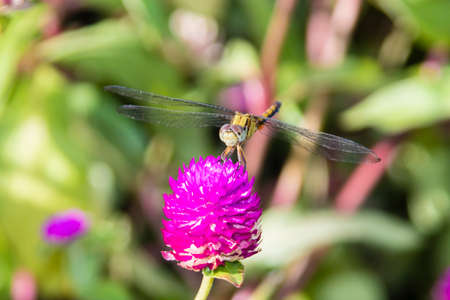 long-legged marsh glider or dancing dropwing (Trithemis pallidinervis) dragonfly from Kerala in South India