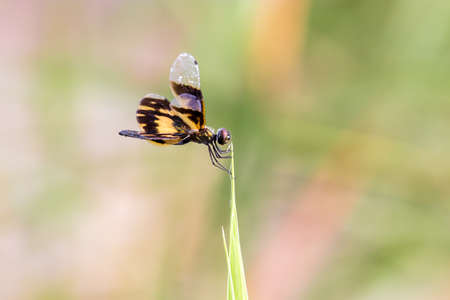 Golden Rhyothemis variegata dragonfly from Kerala, India Stock Photo