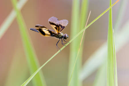 Golden Rhyothemis variegata dragonfly from Kerala, India Stock Photo