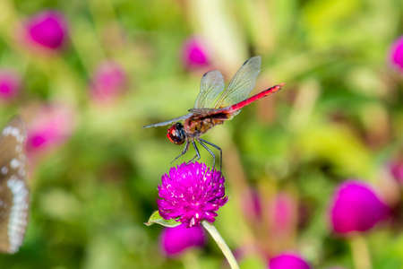 Crimson Marsh Glider (Trithemis aurora) is a species of dragonfly in the family Libellulidae from Kerala, India Stock Photo