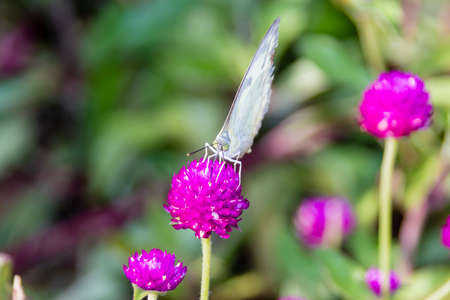 The Small White (Pieris rapae) a butterfly from Kerala in India