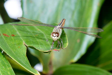 Hydrobasileus croceus Brauer, Amber-Winged Marsh dragonfly from Kerala India