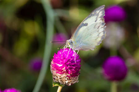 pieris: The Small White (Pieris rapae) a butterfly from Kerala in India