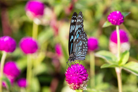 Butterfly, Blue Tiger (Tirumala limniace) from Kerala in India Stock Photo