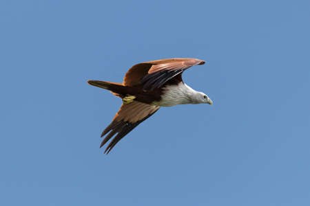 A beautiful Haliastur indus or red backed sea eagle in the sky from Kerala India