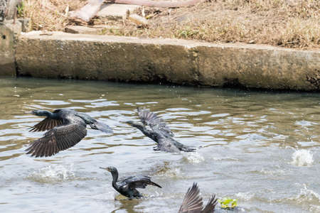 Indian Cormorant fishing from Kerala backwater India