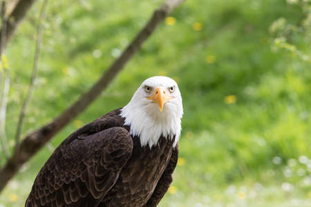 Elegant bald eagle flying experience in a nature Banco de Imagens