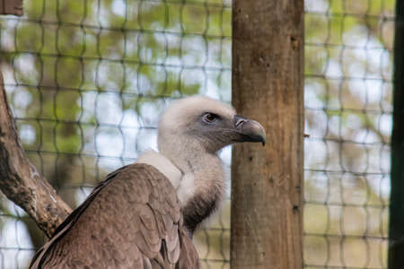 Baby large cape vulture flying demonstration with elegance