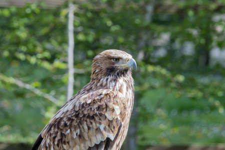 Baby Elegant wild bald eagle flying demonstration with elegance Фото со стока