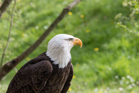 Elegant bald eagle flying experience in a nature Фото со стока