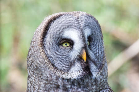 The beautiful great grey owl posing on its tree Stok Fotoğraf