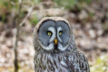 The beautiful great grey owl posing on its tree Фото со стока