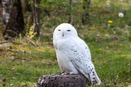 Beautiful standing portrait of the white snowy owl Фото со стока