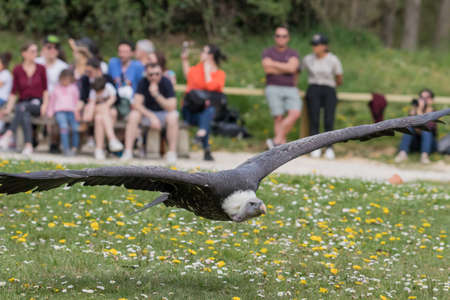 Large cape vulture flying demonstration with elegance Фото со стока