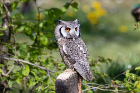 The beautiful southern white faced owl posing on its tree Фото со стока