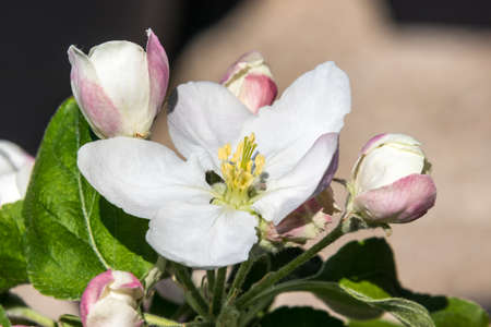 Blooming flower from granny Smith apple dwarf tree from France