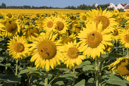 Large sunflowers field blooming towards the sun from France near Paris Stockfoto