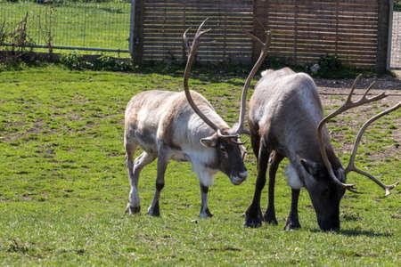 Reindeer eating grass