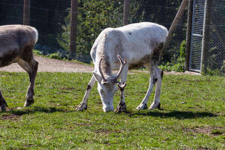 Reindeer eating grass in national park