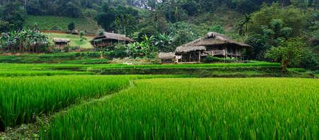Rice field in terrace