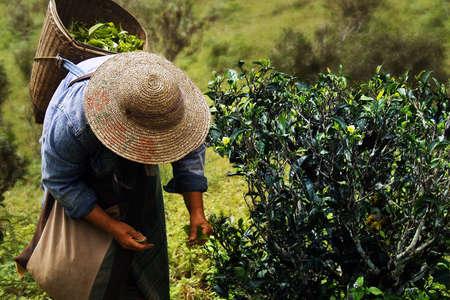 worker picking tea leaves in tea plantation