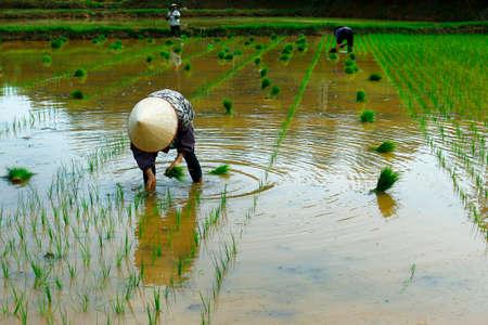 Rice field worker Stock fotó - 88311105