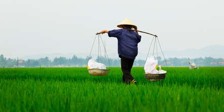 Rice field worker 스톡 콘텐츠
