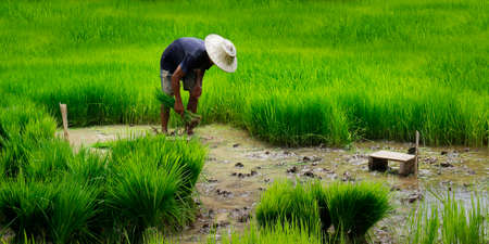 Asian worker in rice field