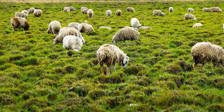 Sheep in the grassland of Mongolia