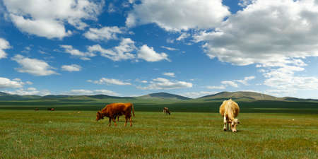 Cow grazing grass in the grassland of Mongolia
