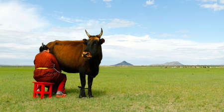 Mongolian farmer milking cow in the grassland of Mongolia