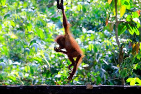 baby orangutan in the rainforest Stock Photo