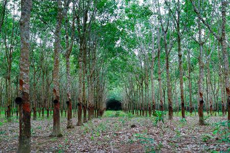 rubber tree, rubber tree plantation
