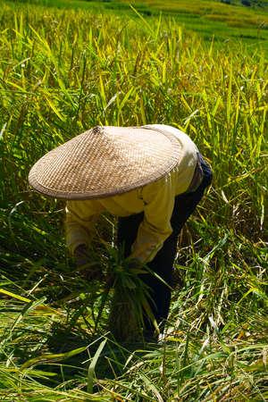 worker harvesting in rice field Stock Photo