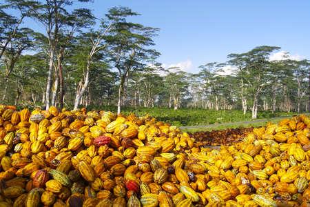 yellow cocoa pod just harvested cocoa plantation