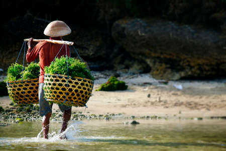 farmer carrying sea weed in bamboo basket